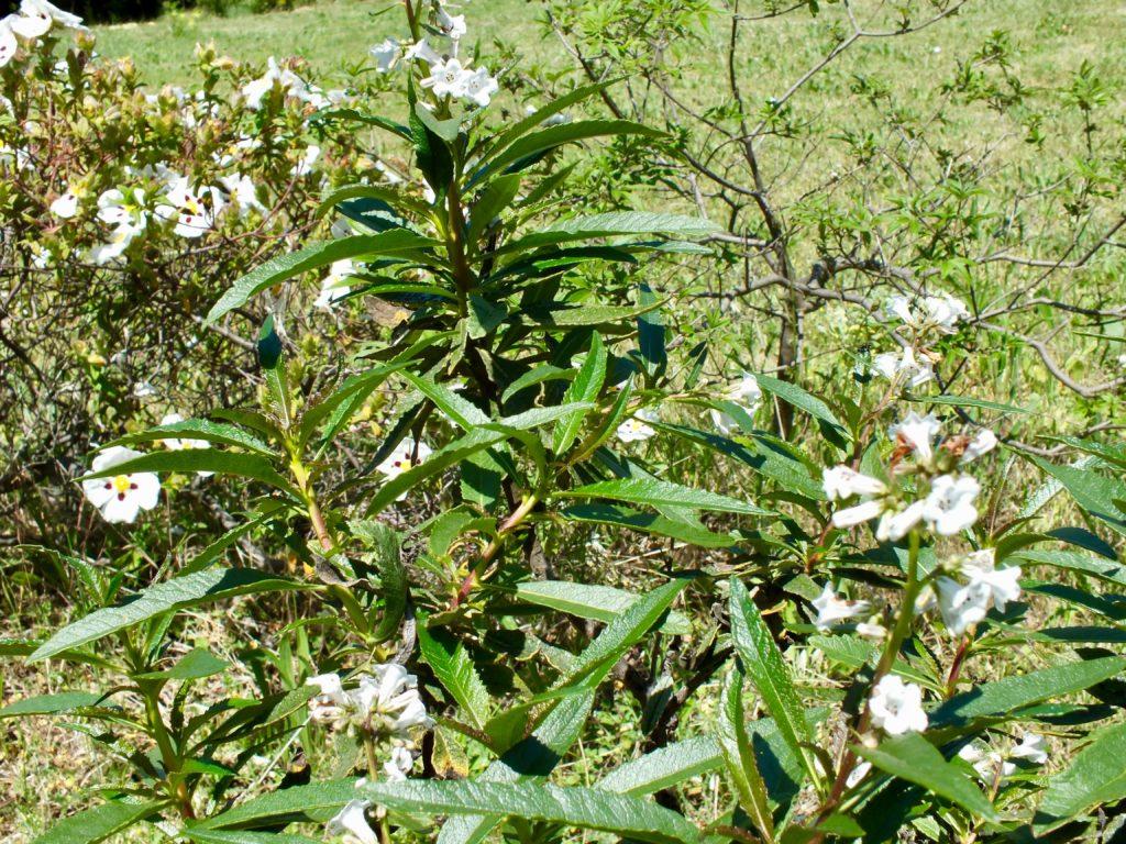 Arbuste Terrain Sec Ombre gérard weiner, auteur sur gérard weiner - plantes de